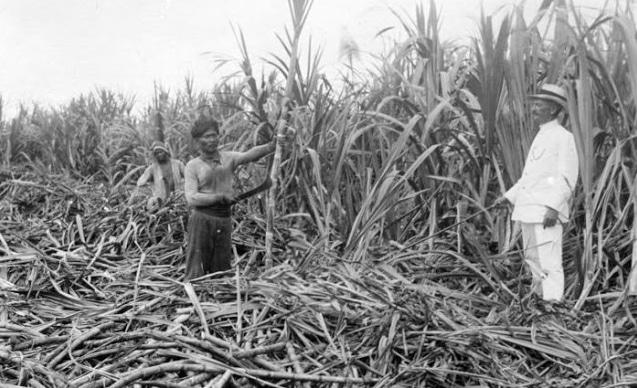 Sistem tanam paksa yang menyengsarakan masyarakat di Jawa karena hanya diperbolehkan menanam tebu atau tanaman komoditas ekspor lainnya tanpa boleh menanam tanaman lain untuk bahan makanan | Google Image/Pelajaran.co.id