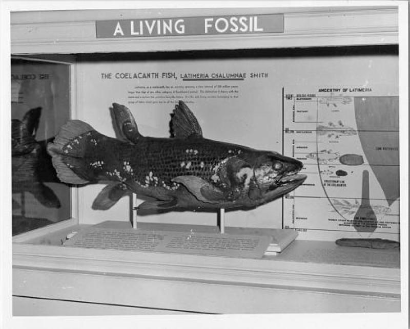Coelcanth atau Latimeria chalumnae yang tertangkap di Kepulauan Komoro, dekat Madagaskar, dipamerkan di National Museum of Natural History, Amerika Serikat, pada 20 Agustus 1957.