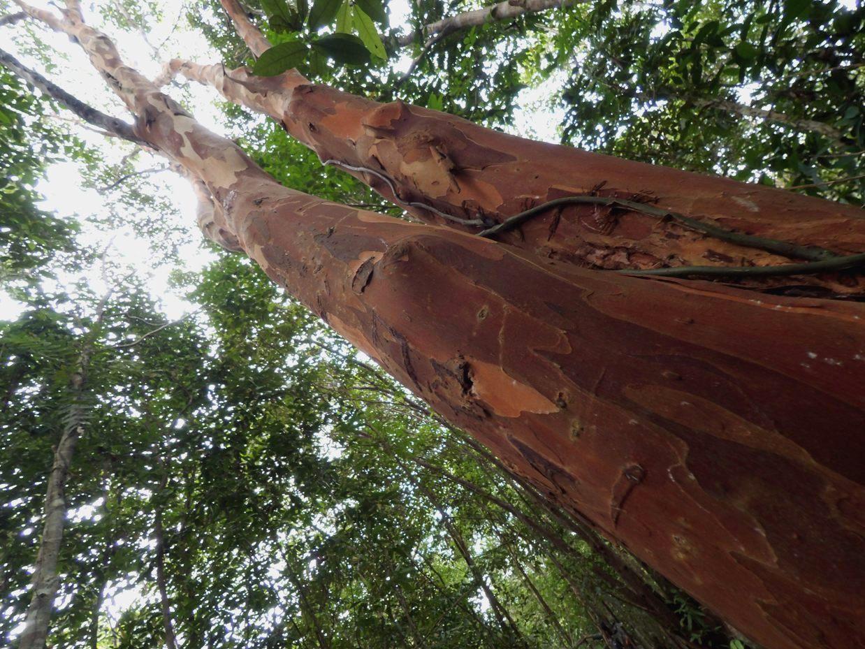 Pohon pelawan.
