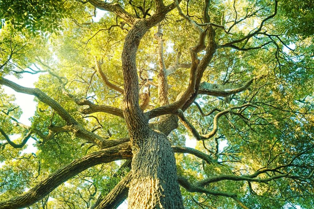 Pohon Kapur Barus