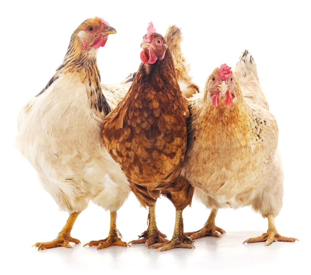 Cara Menebak Warna Telur Ayam