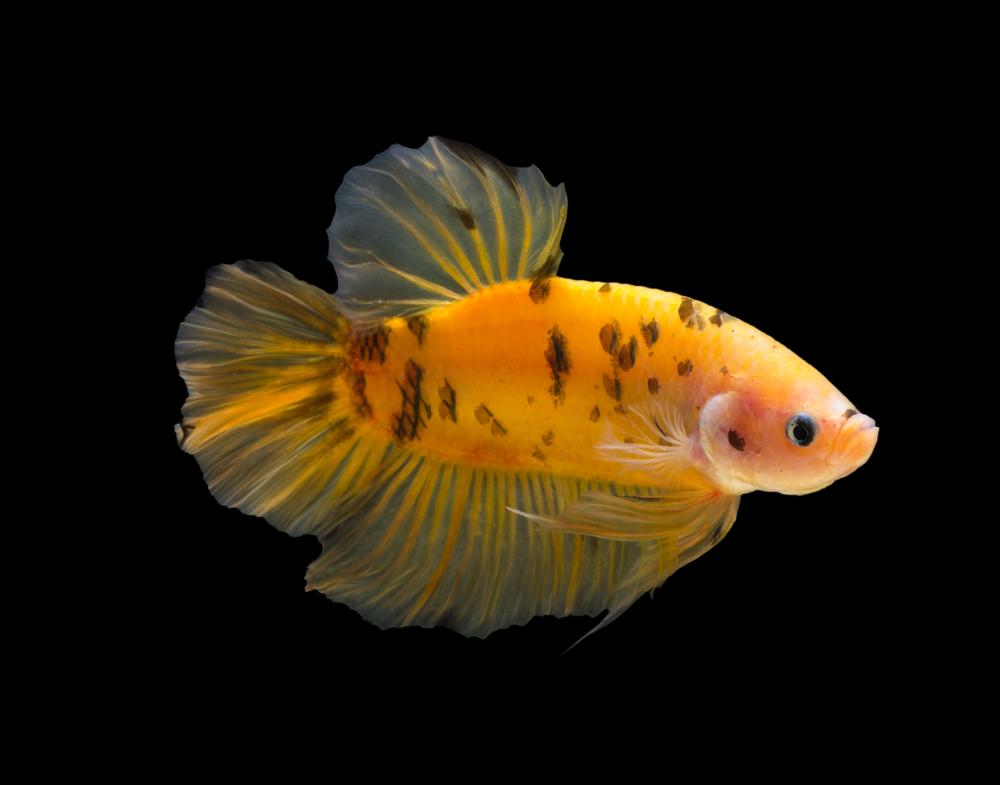 Ikan cupang asli Inodnesia