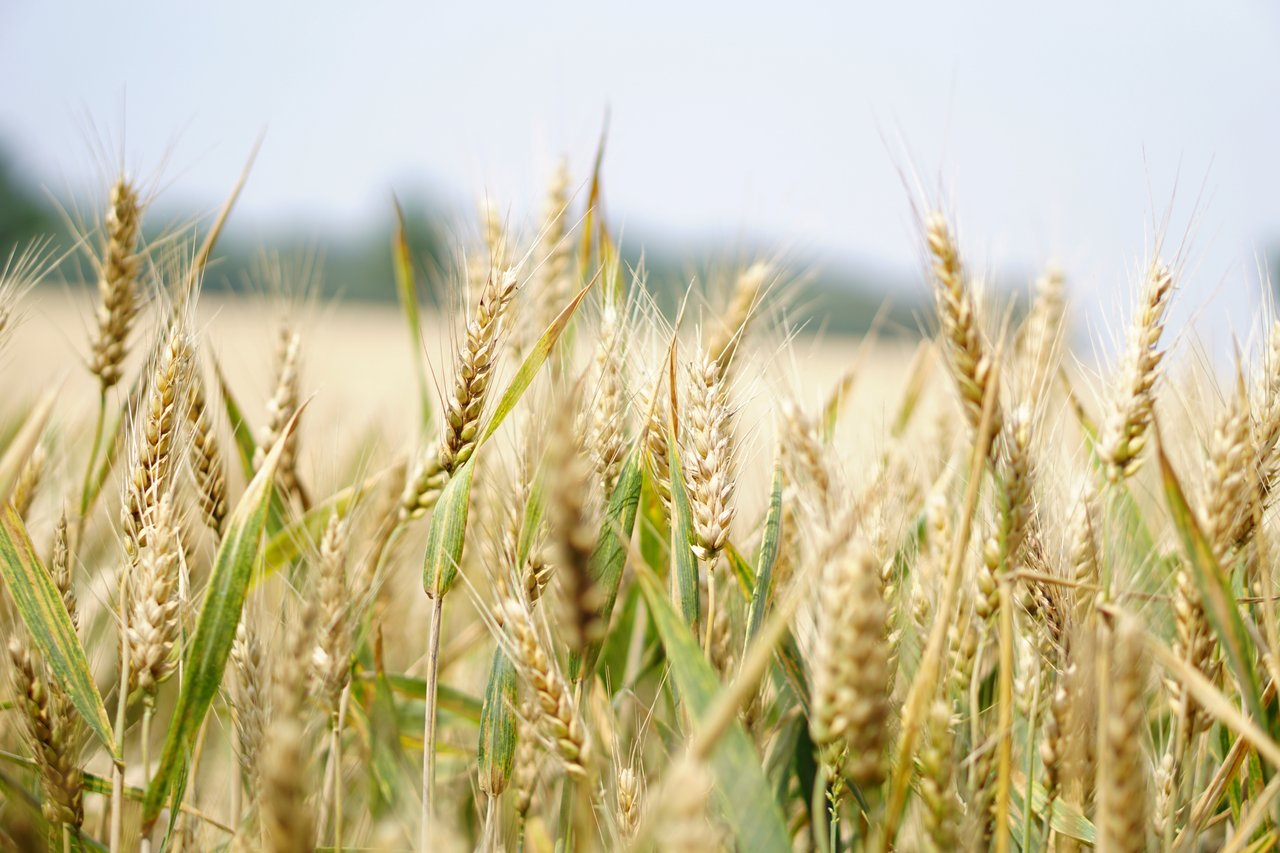 Tanaman gandum | Pixabay.com