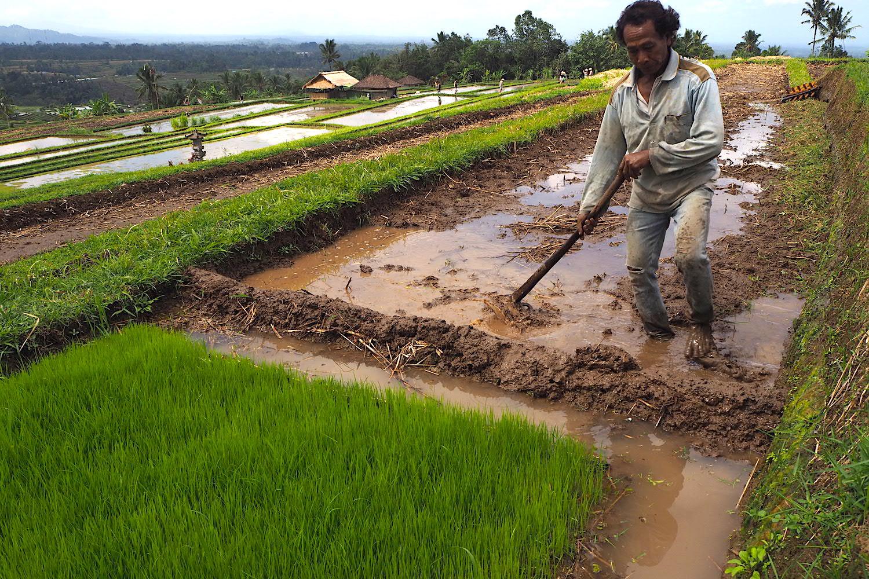 Subak di Bali menghadapi banyak ancaman termasuk alih fungsi lahan dan rusaknya saluran irigasi. Foto: Anton Muhajir