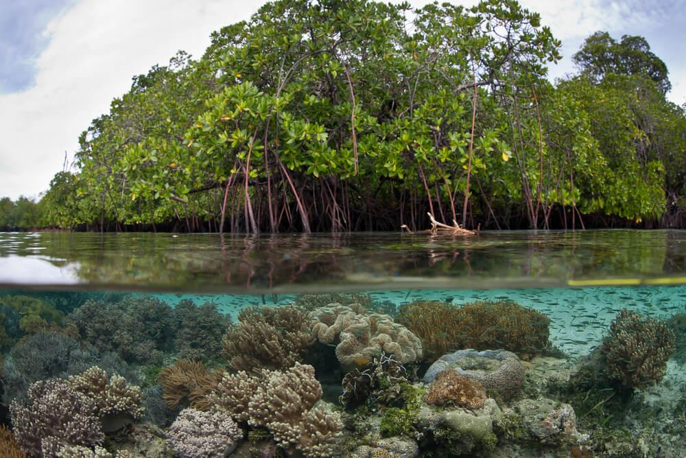 Hutan Bakau Terbesar di Dunia