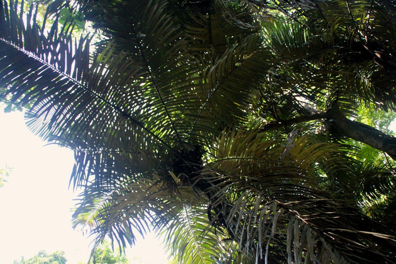 Tajuk langkap. Langkap (Arenga obtusifolia) adalah sejenis aren invasif tinggi antara 10-15 m yang cepat berkembang biak, mengancam tumbuhan vegetatif pakan badak di Ujung Kulon. Sekitar 30 persen kawasan Ujung Kulon diinvasi langkap dan belum ditemukan cara efektif menghentikannya. Foto: Ridzki R. Sigit