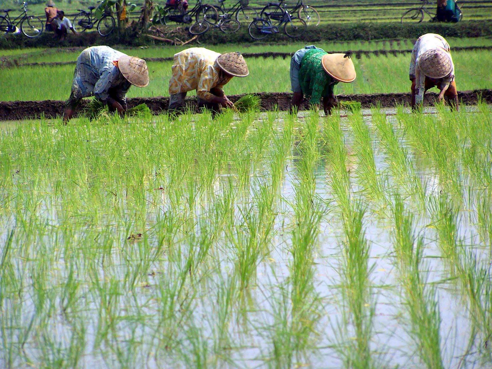 Potret pertanian di Indonesia | Foto: bangazul.com