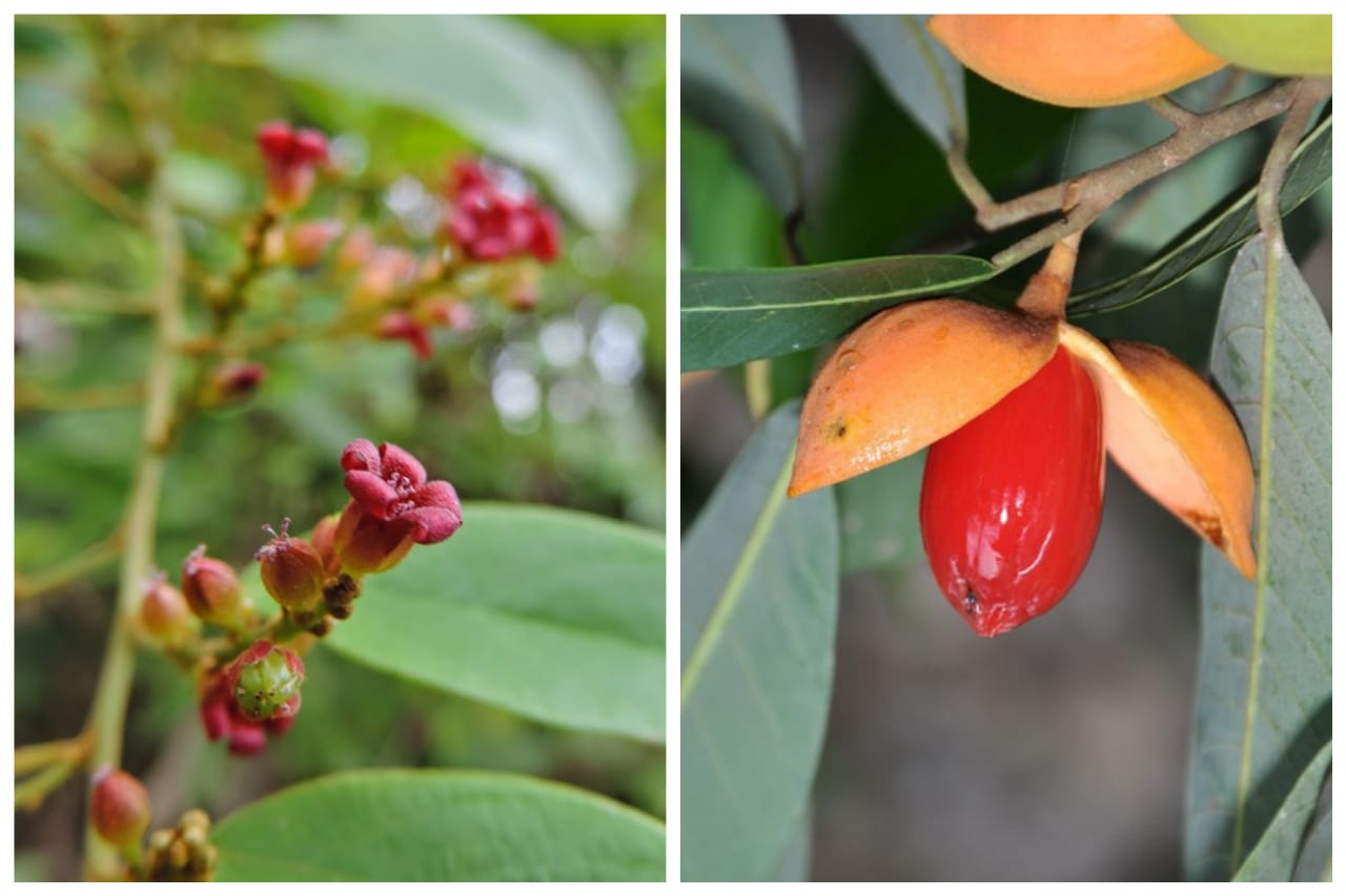 tumbuhan langka indonesia