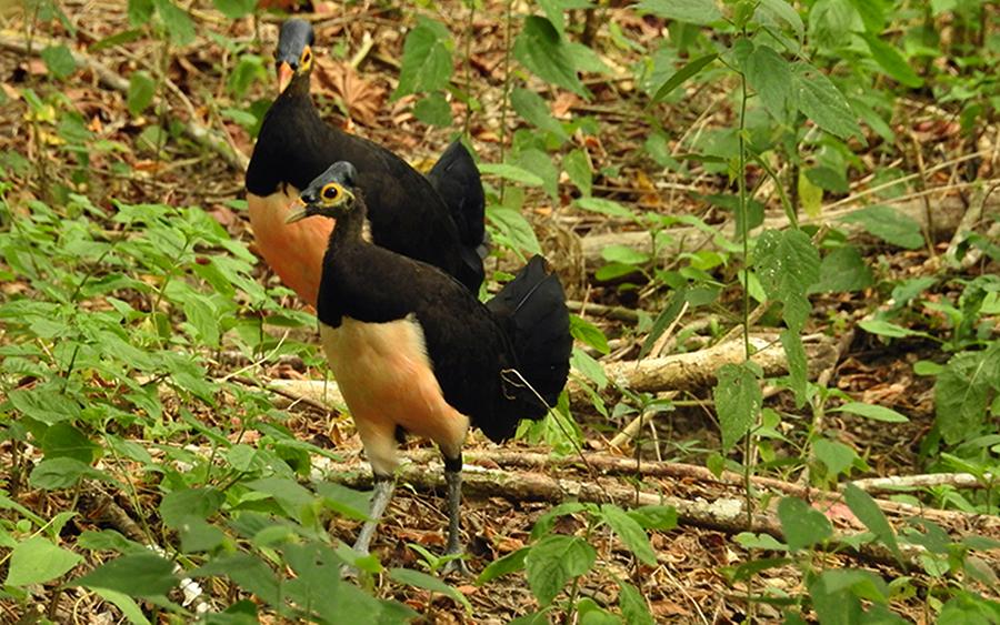 Maleo, burung khas Sulawesi. Foto: Dok. E-PASS/TNBNW