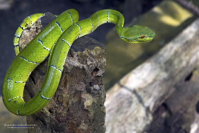 Pit viper borneo