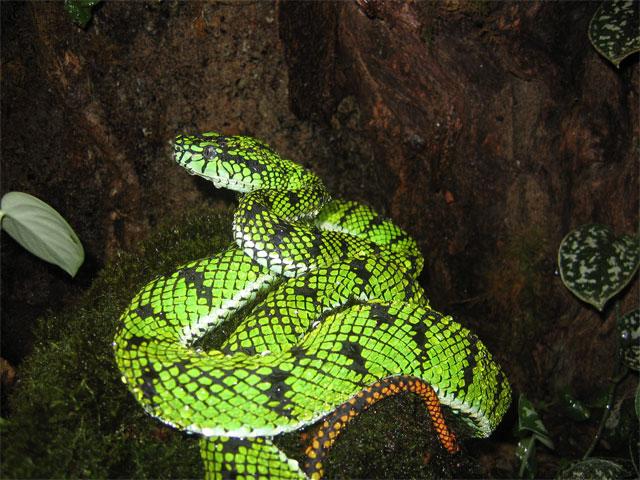Pit Viper Sumatra