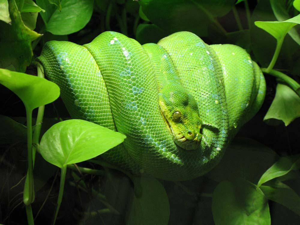 Ular piton hijau papua