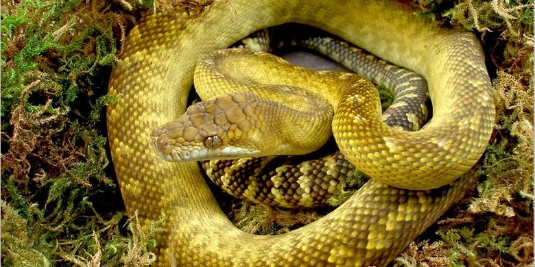 Sanca emas Maluku