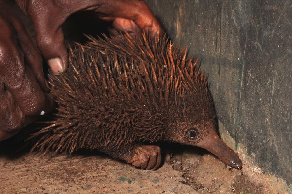 Ekidna Hewan Keramat Papua