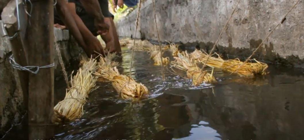 Ecofish, cara mensterilkan saluran irigasi dengan sekam padi.