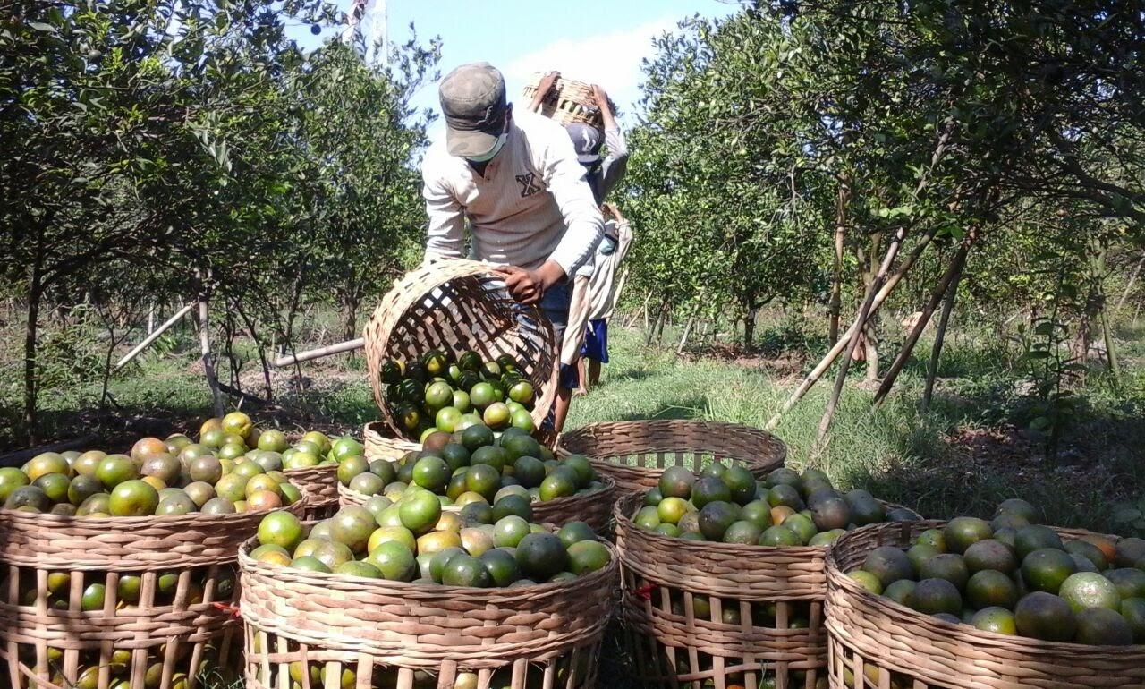 Seorang pekerja tengah memanen jeruk di sebuah area perkebunan © Kautsar blogger