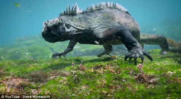 Iguana Laut (Amblyrhynchus cristatus) yang berhasil direkam oleh Steve Winkworth, seorang penyelam sekaligus videografer asal Inggris, di Cabo Marshall, Kepulauan Galapagos. Foto: Youtube/ Steve Winkworth