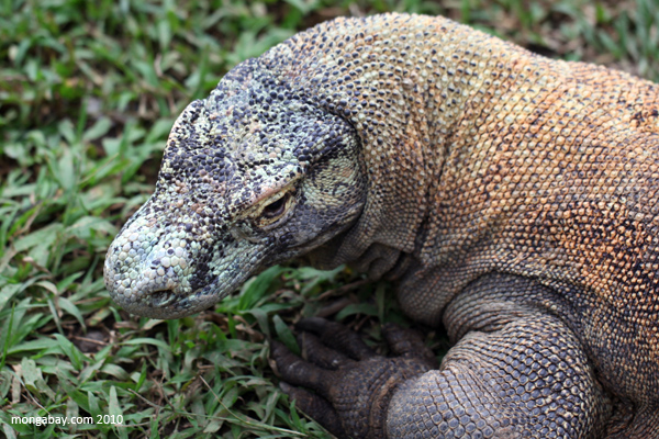 Komodo, satwa kebanggaan Indonesia. Foto: Rhett Butler/Mongabay.com