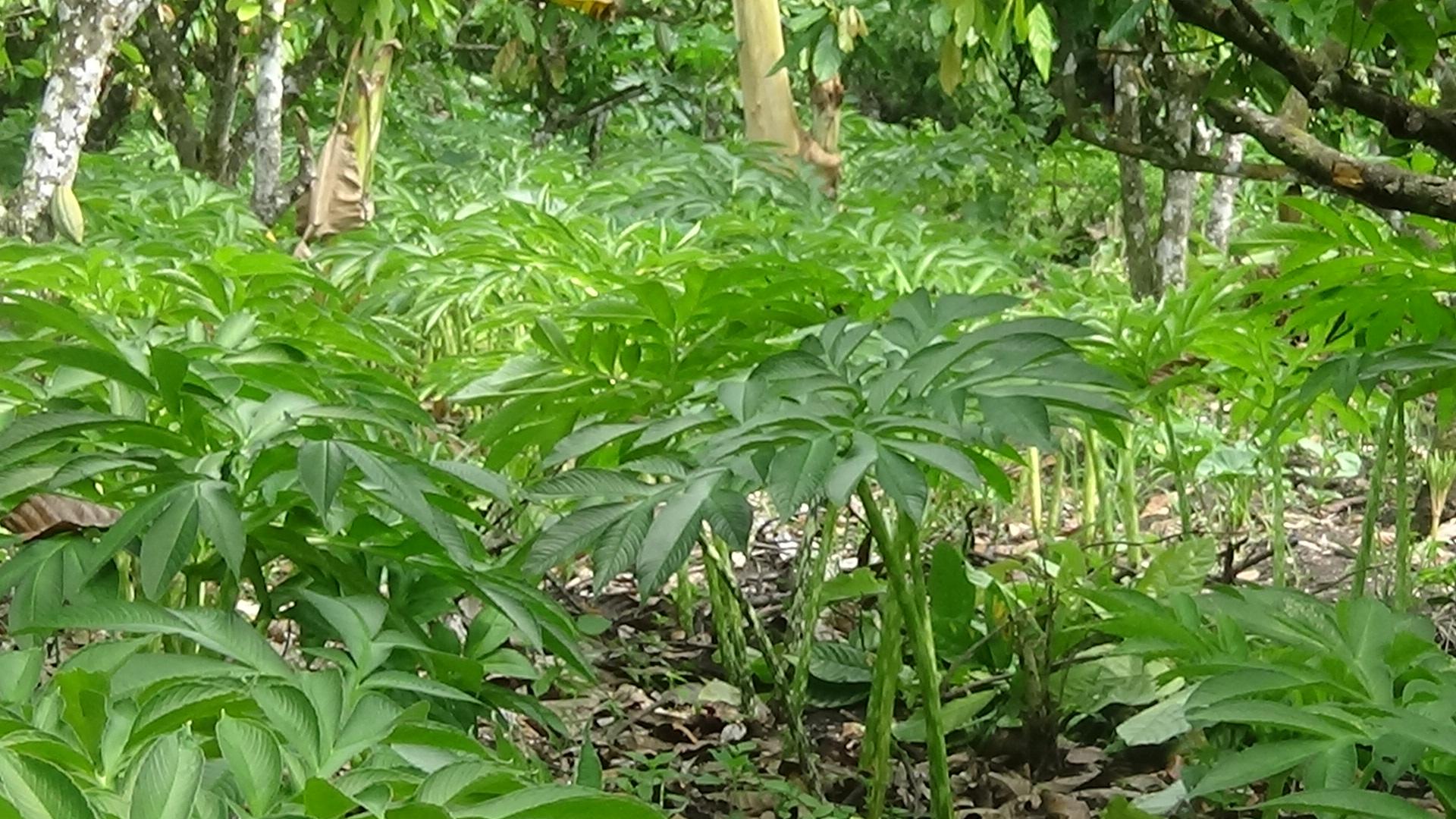 Tanaman porang yang dibudidaya petani di Manggarai Timur