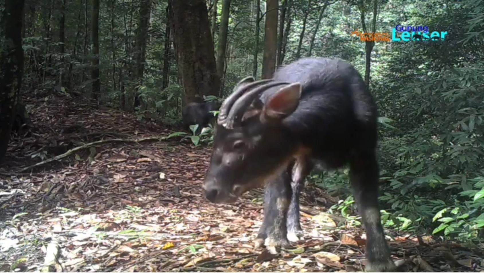 Kambing hutan sumatera yang terpantau di TNGL. Foto: Dok. Taman Nasional Gunung Leuser