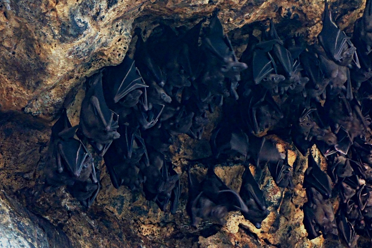 Ribuan kelelawar rehat siang di goa lawah sedalam sekitar 30-50 meter di kaki bukit kawasan perbatasan Klungkung-Karangasem, Bali. Foto Anton Muhajir