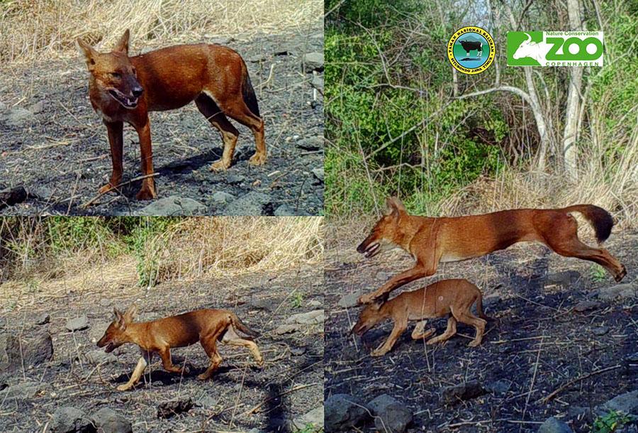 Anjing ajag yang terpantau di Taman Nasional Baluran. Foto: Dok TN Baluran