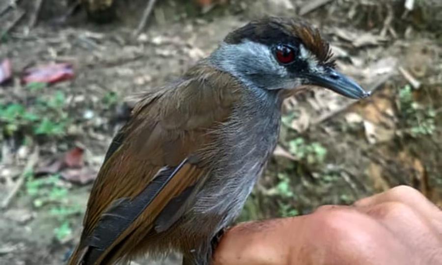 Burung pelanduk kalimantan yang ditemukan kembali setelah 172 tahun menghilang. Foto: Muhammad Rizky Fauzan