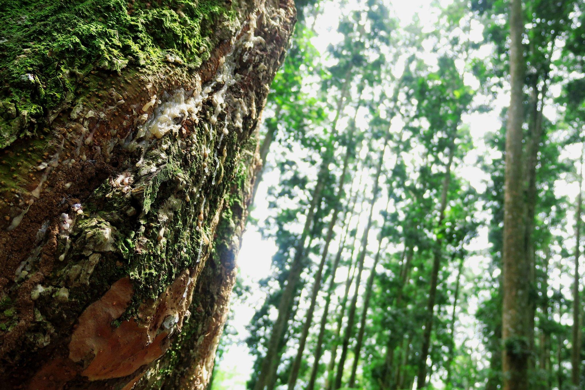 Potret pohon di hutan Indonesia | Foto: Alvianisme