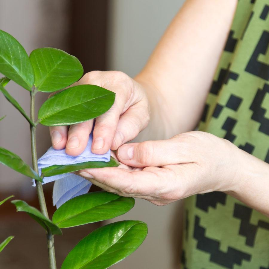 Bersihkan tanaman hias   Foto: How to Clean Things