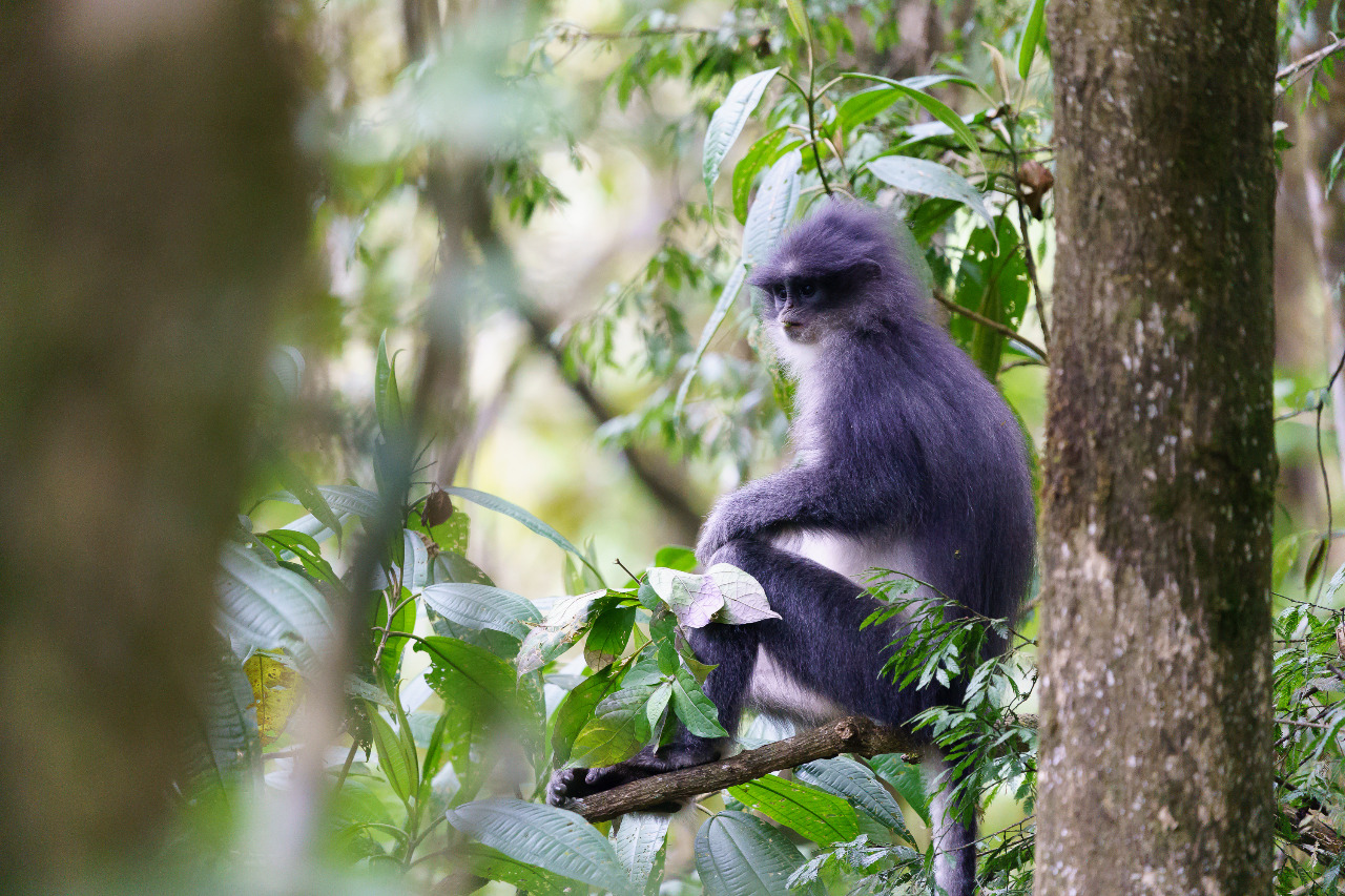 Surili disebut sebagai salah satu primata yang termasuk dalam keystone species (species kunci) karena berdampak besar bagi keberlangsungan lingkungan. © ABC Wild Life/Shutterstock