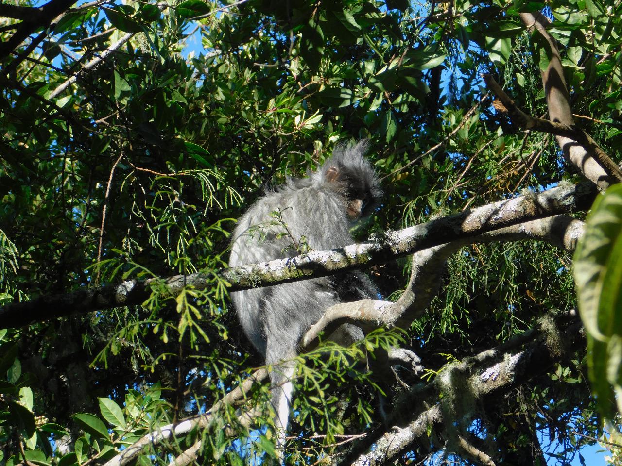Surili merupakan primata yang memiliki gaya hidup alami arboreal, yakni sangat dekat dan tergantung pada pohon. © Muhammad Imam R/Shutterstock