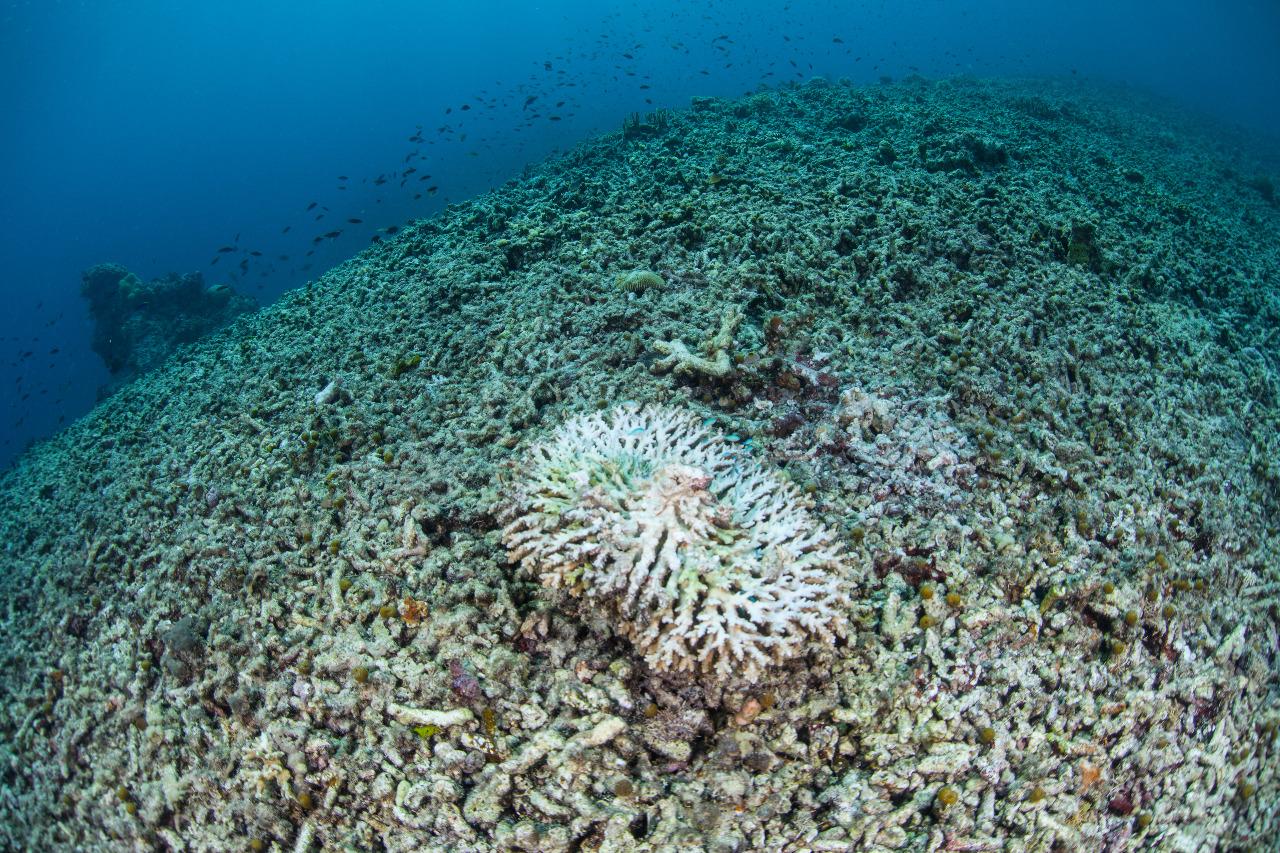 Potret terumbu karang yang rusak di peraiain Indonesia. © Ethan Daniels/Shutterstock