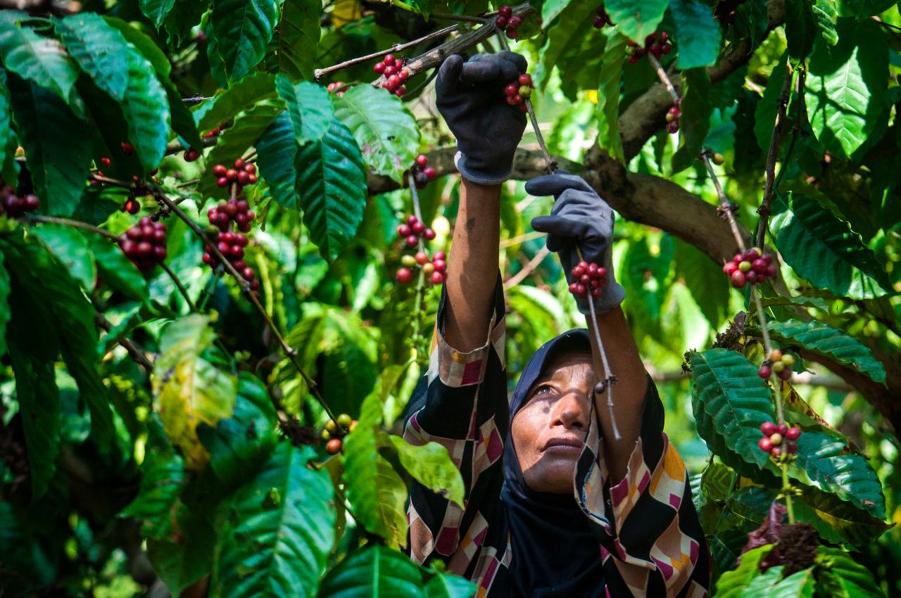 Ilustrasi petani kopi perempuan | Weilmar/Shutterstock
