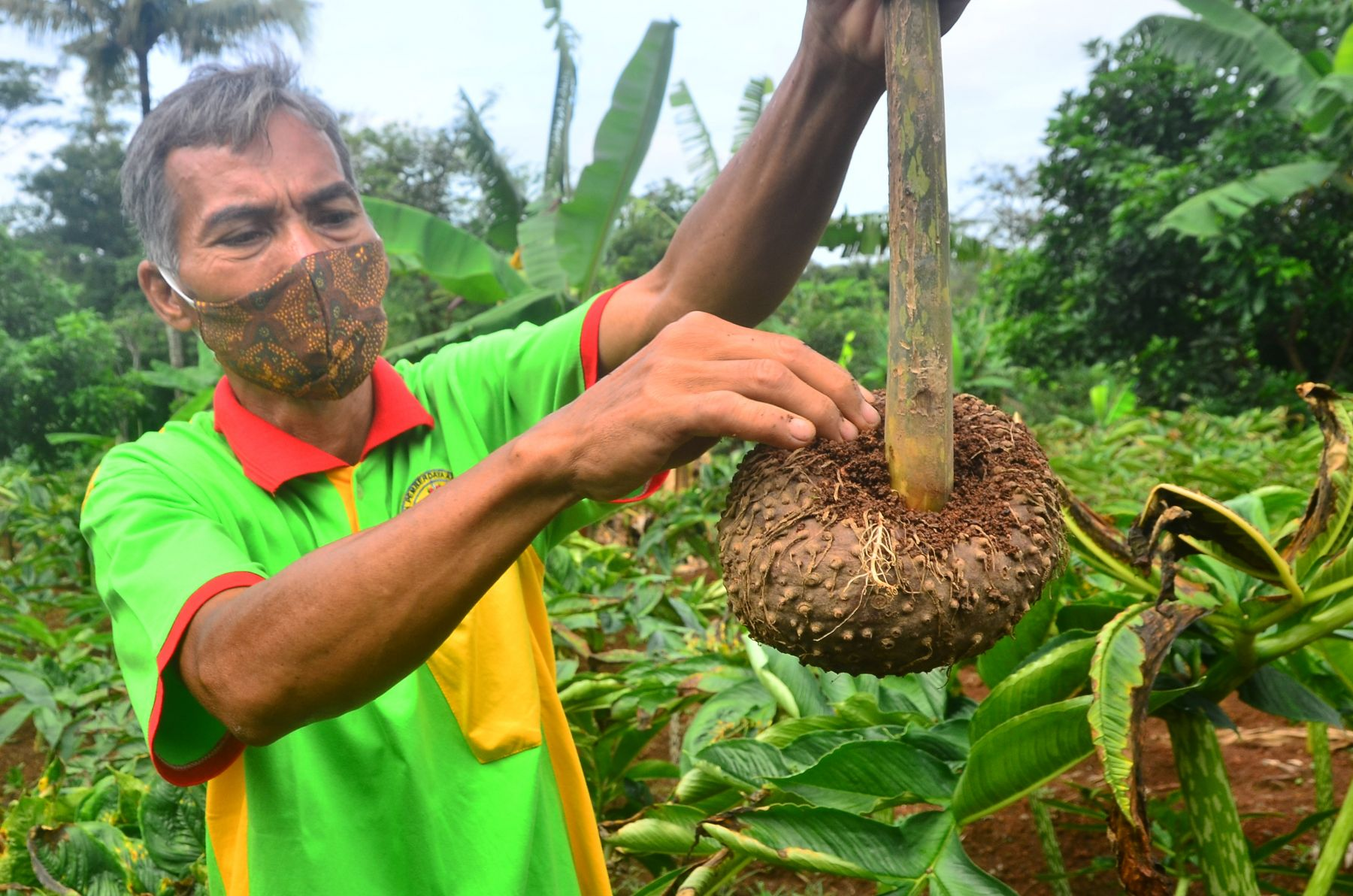 Petani menunjukkan umbi tanaman Porang