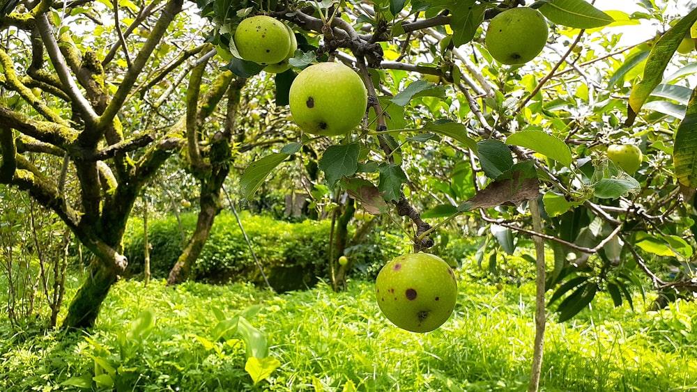 Tanaman apel dengan buah yang rusak