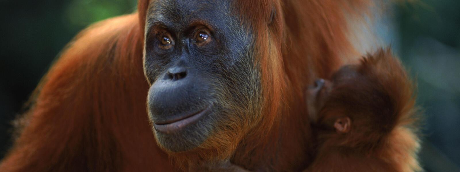 Orang Utan Sumatra | Foto: WWF/Anup Shah