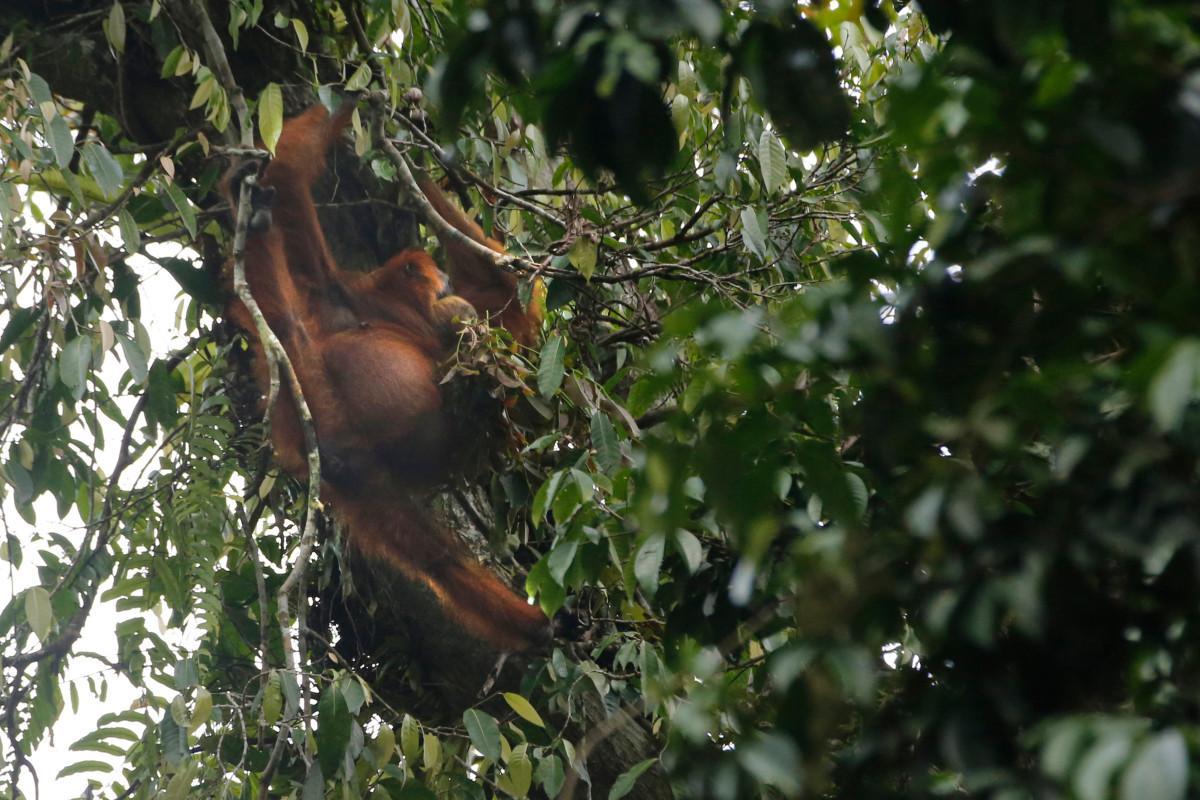 Orang Utan Sumatra pada TNGL   Galeri Imaji Pertiwi