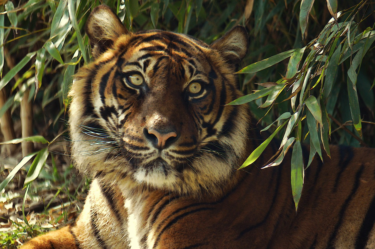Harimau | @TheoRivierenlaan Pixabay