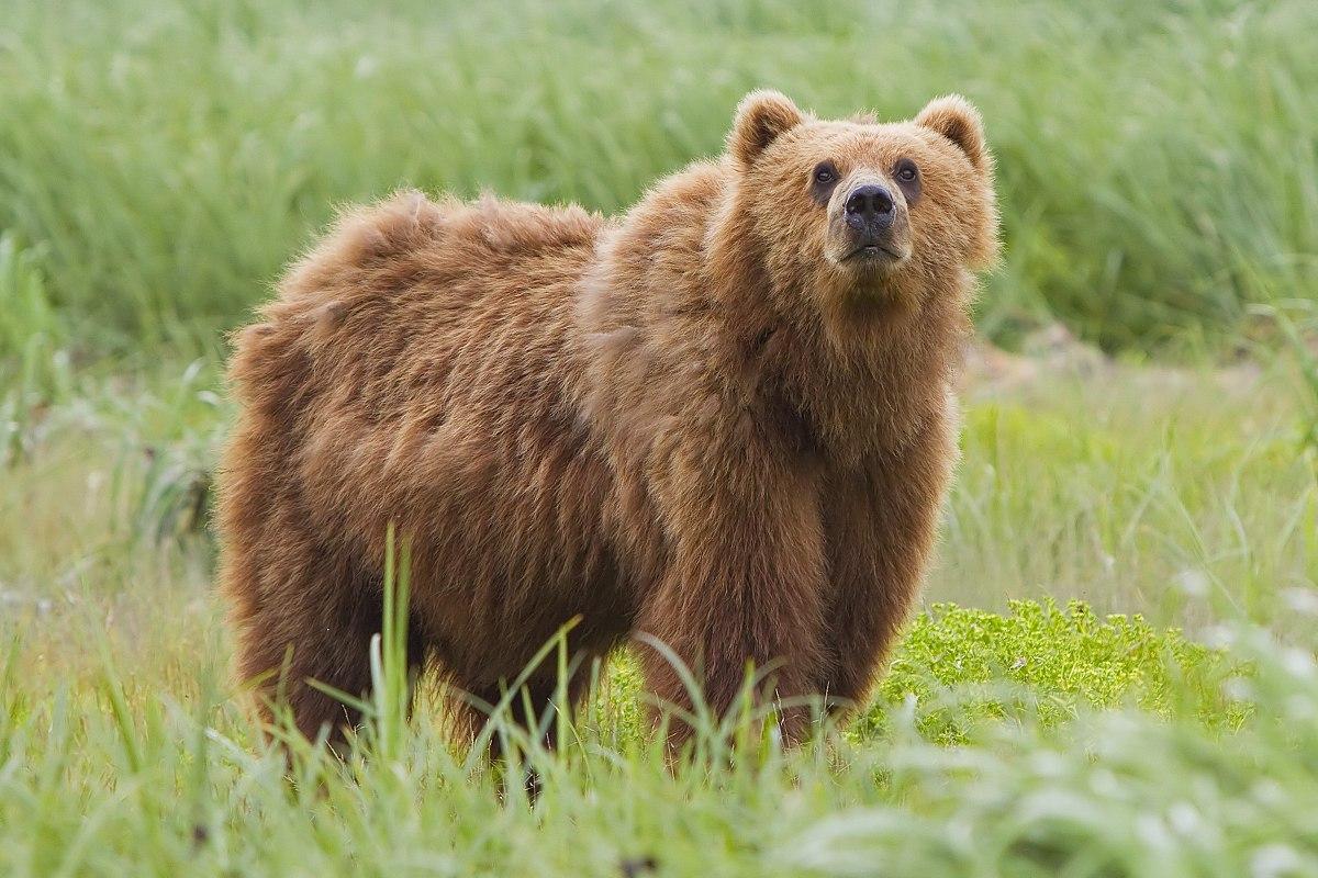Chronotype Beruang | Wikipedia
