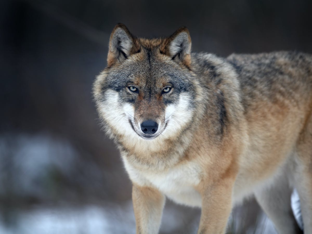 Chronotype Serigala | The Guardian News
