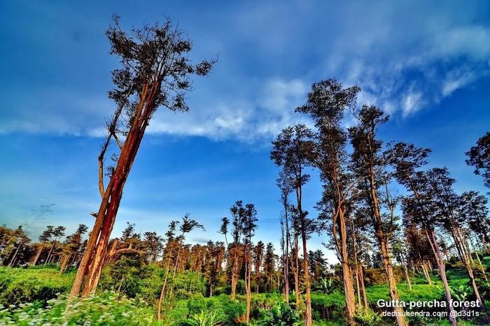 Hutan Gutta Percha Cipetir