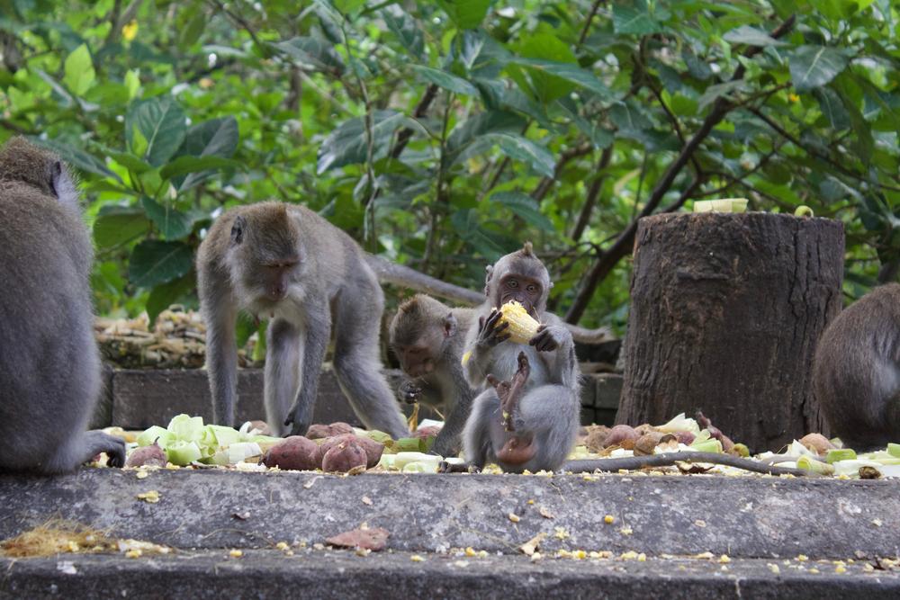 Ilustrasi monyet di kawasan hutan monyet dengan potensi sampah organik