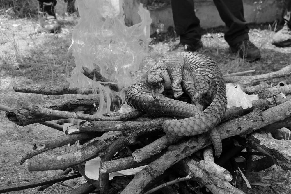 Trenggiling, satwa dilindungi yang terpaksa harus dibakar setelah diamankan dari para pemburu dalam kondisi sudah mati