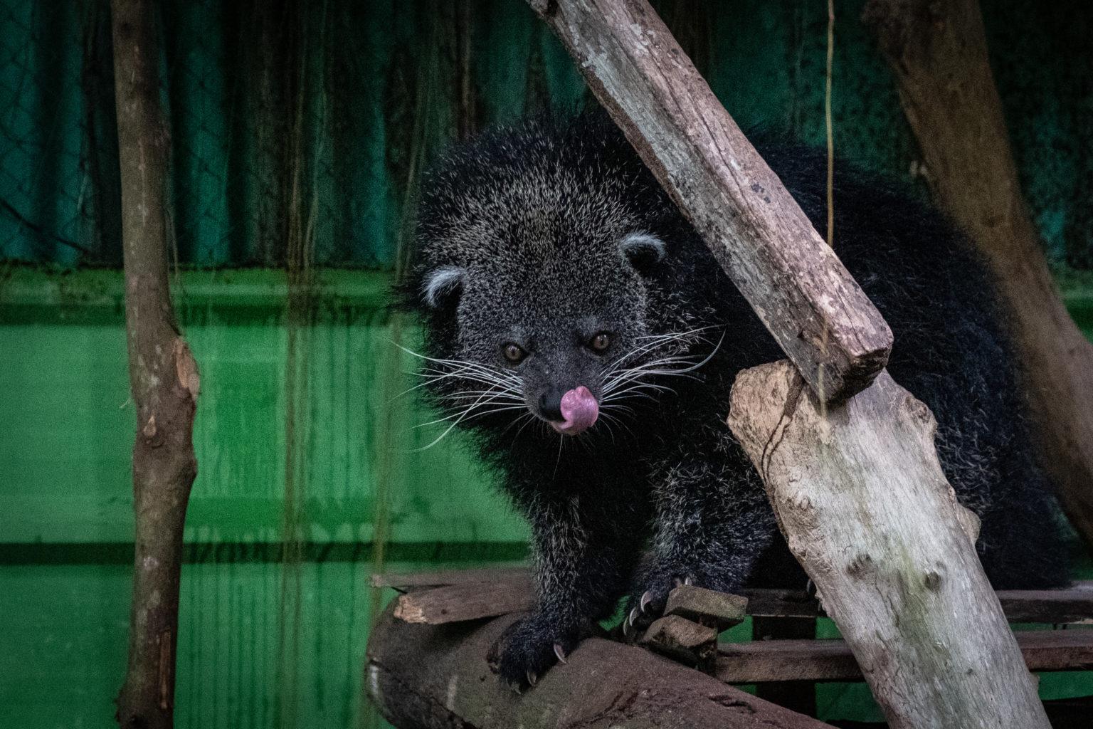 Binturong, salah satu hewan yang ada dalam mitos masyarakat Bangka