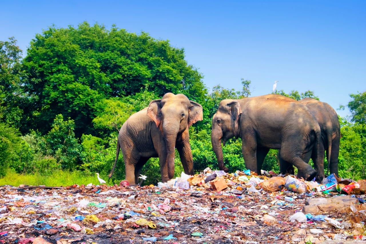 Dua ekor gajah berkeliaran di sekitar tempat pembuangan sampah di di pinggir Taman Nasional Minneriya, Sri Lanka