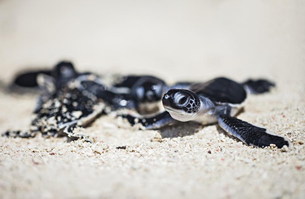 Penyu di Pulau Sangalaki | @Sony Herdiana Shutterstock