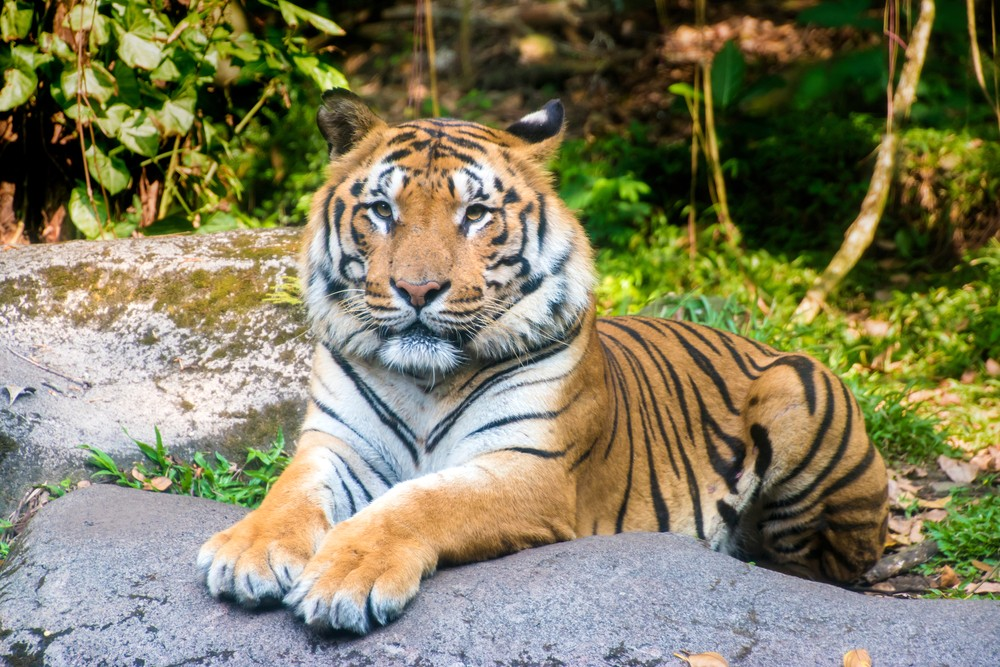 Harimau Sumatra | @Daniel_Ferryanto Shutterstock