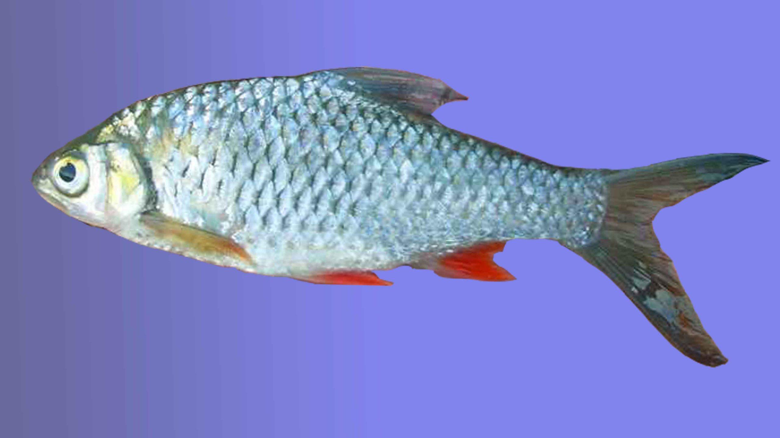 Ikan tawes   Foto: Junalis Mancing