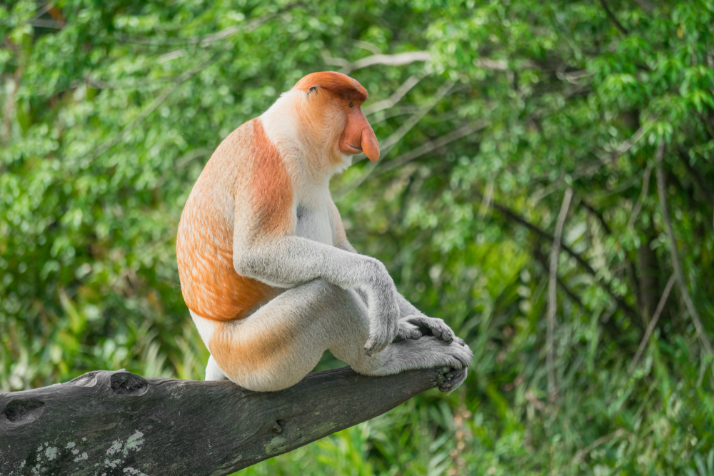 Bekantan   @BorneoRimbawan Shutterstock