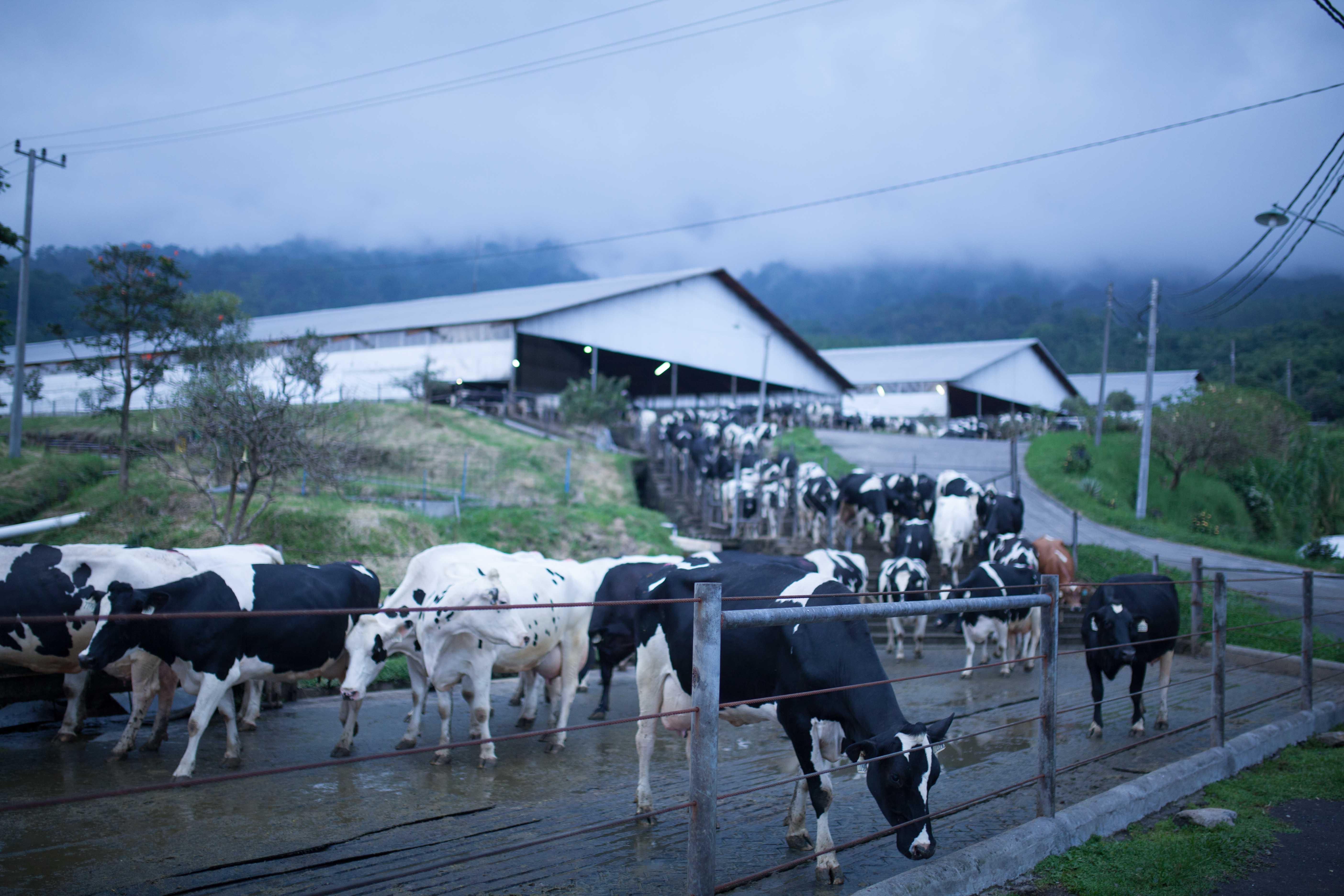 Sapi Holstein